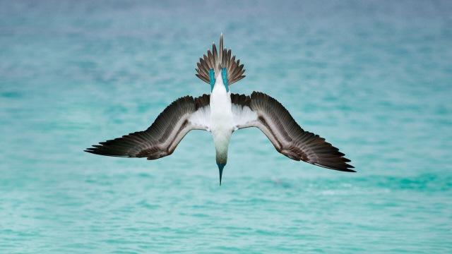 A blue-footed booby dives off San Cristóbal Island, Ecuador