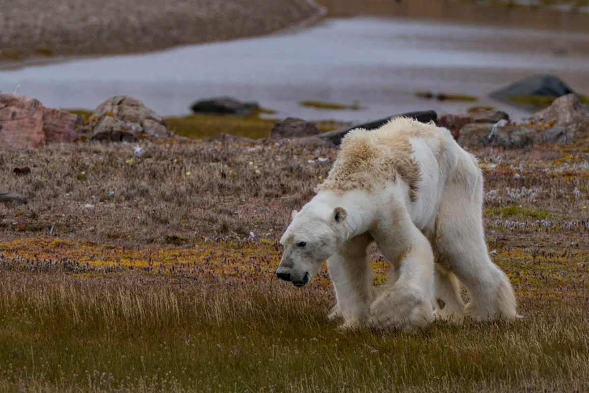 This Polar Bear Is Starving-Climate Change Is Real