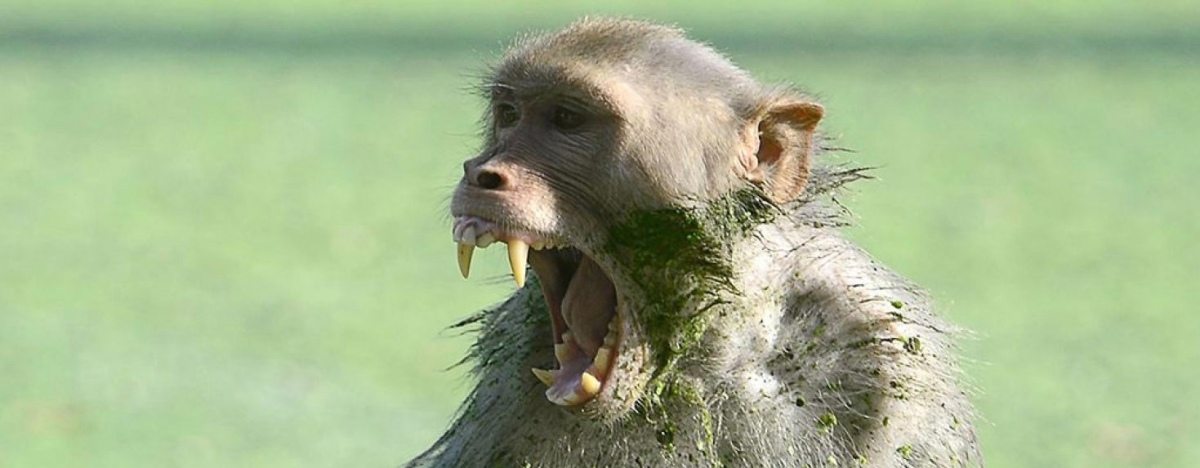 Monkey Snatches 12-Day-Old Baby From Mother's Arms, Fatally Bites Him